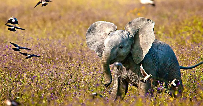 15 gifs que demuestran que no hay nada m s tierno que los - Fotos de elefantes bebes ...